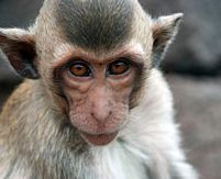 Shy monkeys and anxious temperament
