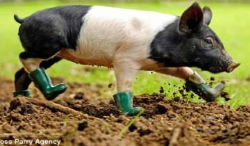 Cinders-the-pig